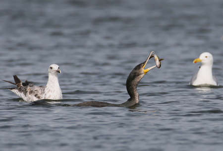 Cormorant caught a fish and threw it into the air to comfortably eat. Two seagulls are watching the process