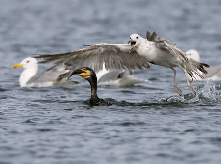 The big seagull is trying to take the prey from the cormorant Stock Photo