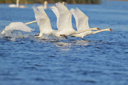 A group of swans running on the water for take-off.