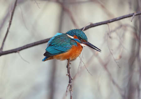 Kingfisher with ice on its beak  sits on a thin reed and warms