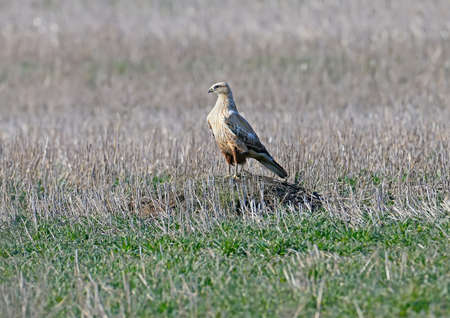 The long-legged buzzard (Buteo rufinus) sits on a hill in the middle of a hunting field Stock Photo