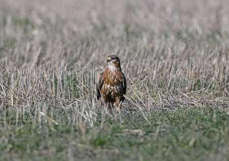 Common buzzard sits on the ground and looks at the camera
