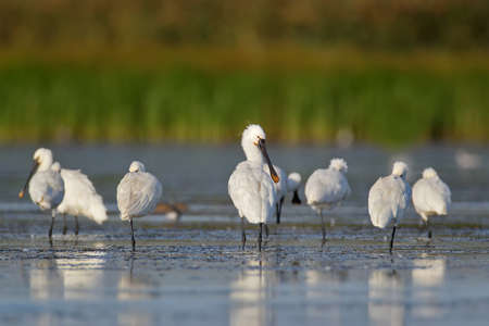A small flock of European spoonbills stands in the water against a blurred green reed