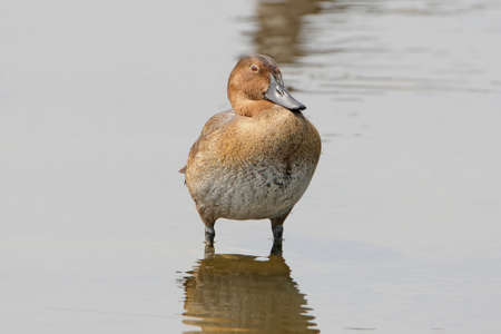 The common pochard (Aythya ferina) female in winter plumage stands in water