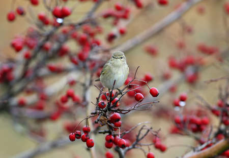 Chiffchaff is sitting on a hawthorn bush with bright red berries