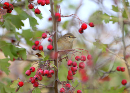 Chiffchaff is sitting on a hawthorn bush surrounded by red berries