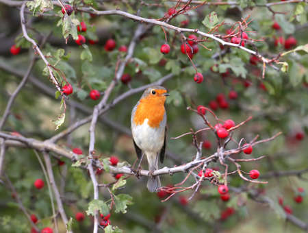 The European Robin sits on a hawthorn bush surrounded by bright red berries. Taken on a blurry beige background closeup