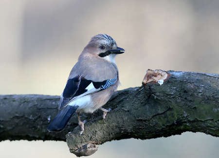 The Eurasian jay sits on a branch and looks into the camera. Close-up photo on blurred background