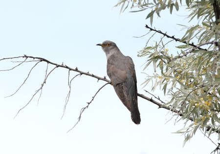 The common cuckoo (Cuculus canorus) sits on a branch against the blue sky. Close-up photo Stock Photo