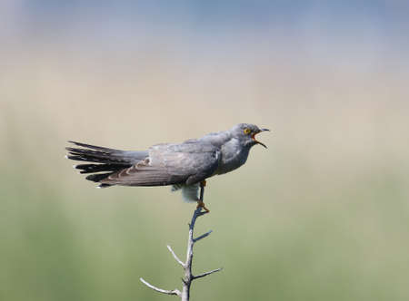 Common cuckoo sits on horizontal branch on blurred beige-blue background