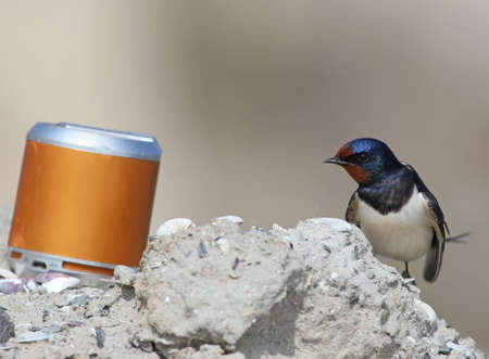 One barn swallow sits on the sand and listens to an acoustic speaker Stock Photo