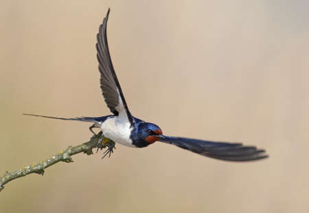 One barn swallow with wide open wings take of from a slim branch. Nice beige blurred background