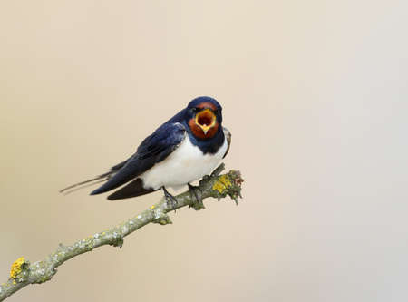 One barn swallow with open beak  sits on the branch on beige blurred background