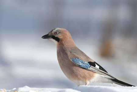 The Eurasian jay sits on the snow and tries to swallow peanuts. Close-up photo with details of plumage and iris Stock Photo