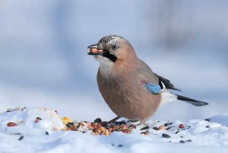 The Eurasian jay sits on the snow and tries to swallow two peanuts. Close-up photo with details of plumage and iris