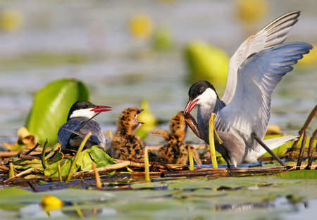 A couple whiskered tern feeding  with little fish two cute chicks on the nest. Soft morning light on the lake and unusual perspective of photo.