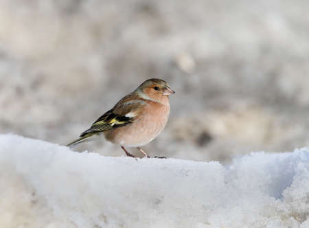 Close up and detailed photo of a male chaffin sits on the snow Stock Photo