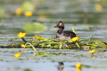 Black necked grebe sits on a nest on water plants Stock Photo