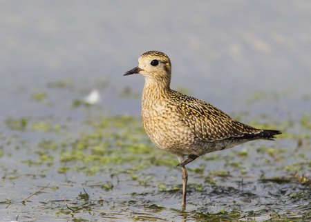 Close up photo of a Golden plover stands on the shore