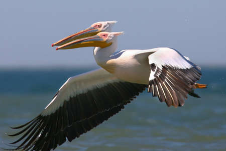 Two white pelicans in flight looks like one with two heads Stock Photo