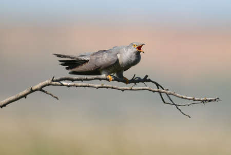 Common cuckoo singing on a branch on a blurred background Stock Photo