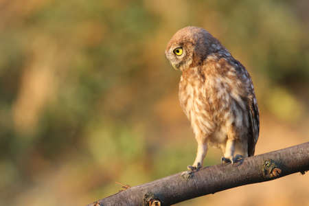 A little owl sitting on special branch and watching photographer.