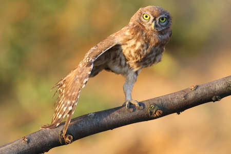 A little owl sitting on special branch and posing for photographer. Stock Photo