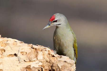 Grey woodpecker closeup portrait in soft morning light.
