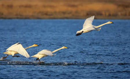 A whooper swans take off from blue water