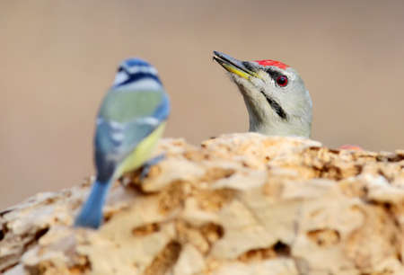 Unexpected meeting of a gray-headed woodpecker and blue tit on forest feeder. Stock Photo