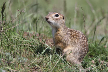 Speckled ground squirrel in funny pose sits on the grass Stock Photo