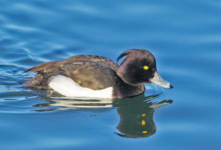 The tufted duck (Aythya fuligula) portrait with water reflection. Beautiful soft sunlight.