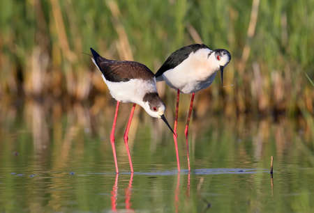 A beautiful couple of black-winged stilt ready to love. Stock Photo