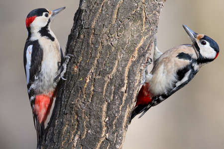 The photo shows the distinctive features of the males of the Syrian and the great spotted woodpeckers and is intended to facilitate the recognition of these birds. To the left of the Syrian right is a great spotted woodpecker.