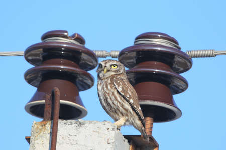 Adult little owl on electrical wires.