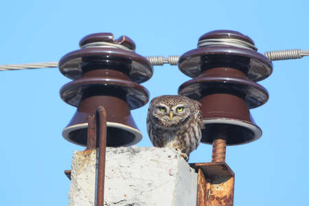 Electrical little owl