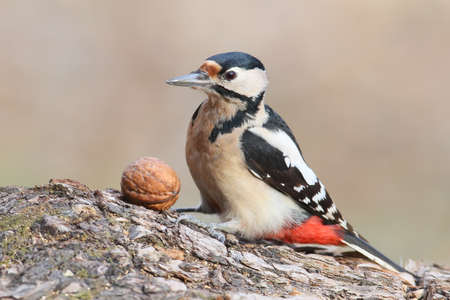 Closeup portrait of great spotted woodpecker with nut.