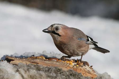 Unusual and funny close up photo of eurasian jay
