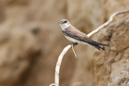 Close up shot of a one sand martin sits on the branch near its nest