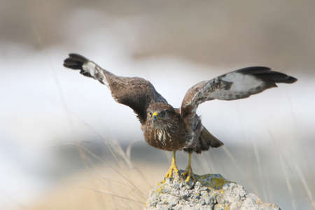 Close up photo of common buzzard take off from the stone with a snow