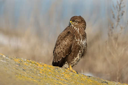 Close up photo of common buzzard sits on the stone with a snow