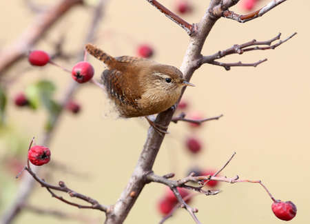 Close up photo of eurasian wren sits on a branch wit bright red berries on beige blurred background