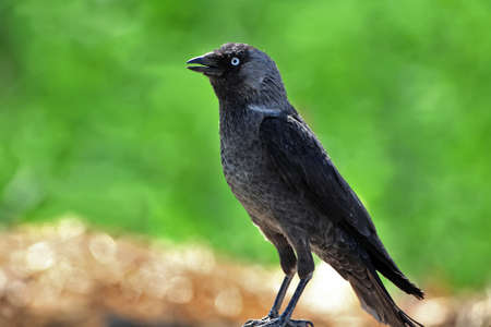 The western jackdaw (Coloeus monedula) sits on the ground on blurred green background Stock Photo