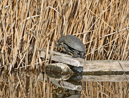 The European pond turtle (Emys orbicularis) are mated on a log in water