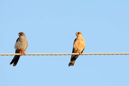Un paio di falcone dai piedi rossi si siede sul filo elettrico su uno sfondo blu sfocato Archivio Fotografico - 96349282