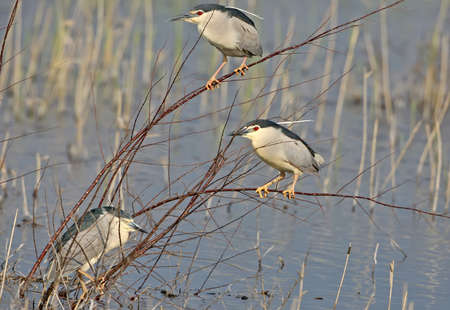 One adult night heron sleeps after a long flight on a branch on blurred background. Another two herons sits on a thin branches