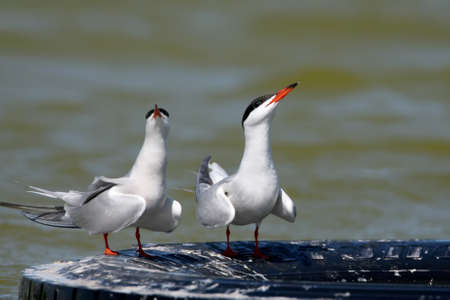 A couple of common terns perform a marriage ritual on an automobile tire in the water Stock Photo