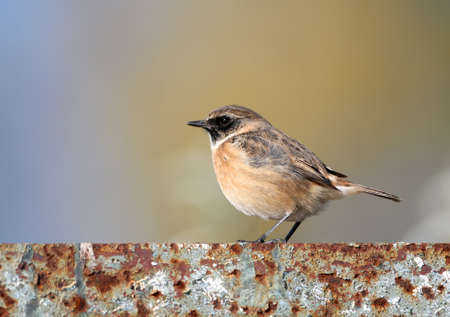 A male of a whinchat (Saxicola rubetra) stands on a iron fence against blurred blue-beige background