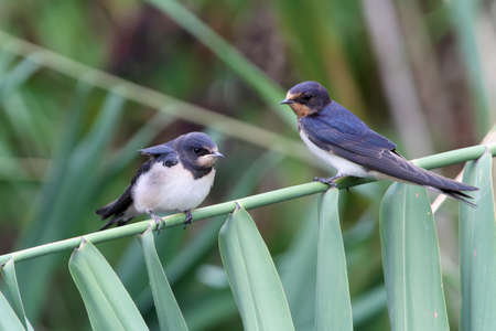 Two chicks of a barn swallow sits on the reed  Stock Photo