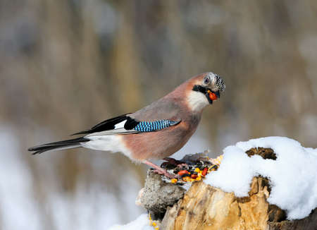 Close-up portrait of a Eurasian jay sitting on a snow-covered log and looking at the camera